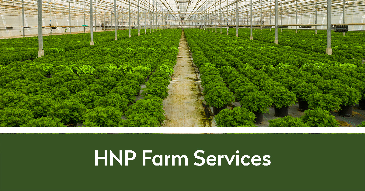 Rows of hemp in a greenhouse | HNP Farm Services